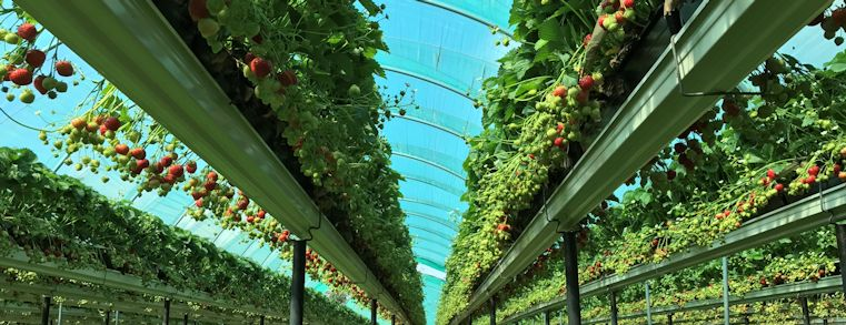 Image of strawberries taken from floor height at a strawberry farm
